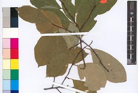 Resource: JP00925 ''Padus serotina'' (Ehrh.) Borkh. - Kolekcja zbiorów zielnikowych z Europy i Azji - arkusze w formacie A3